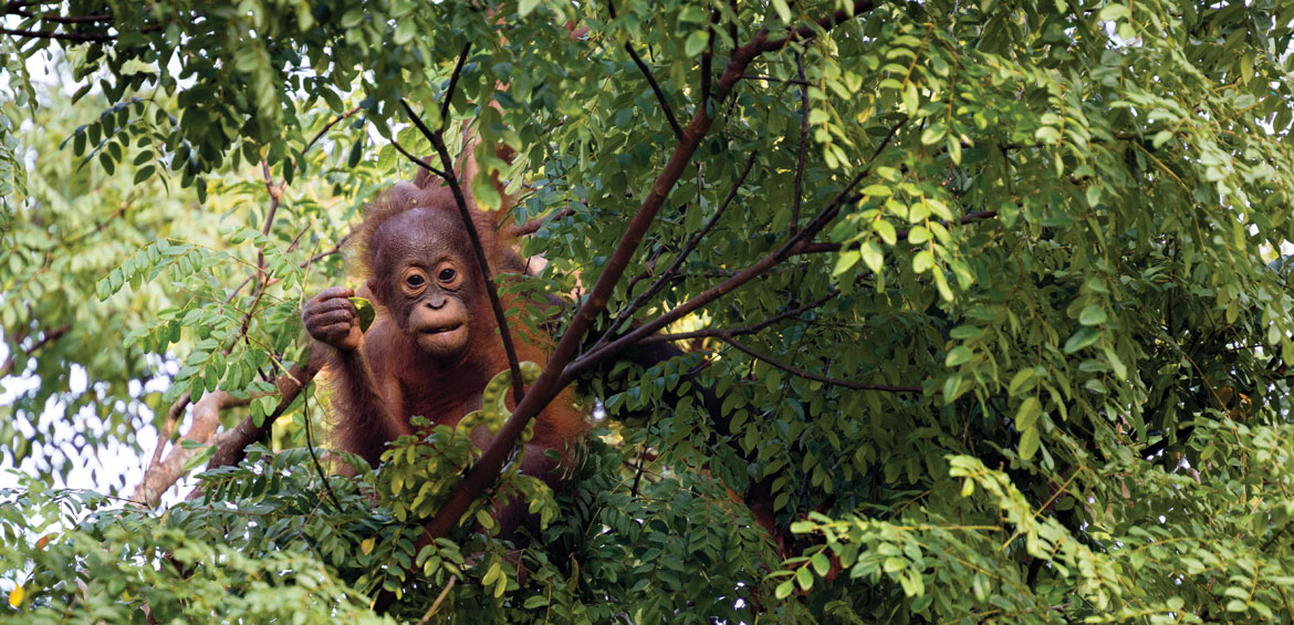 Infant Bornean orangutan (Pongo pygmaeus) playing in an Adenanthera pavonina tree and eating the Red Lucky Seed beans in Borneo in Sepilok, Malaysia.