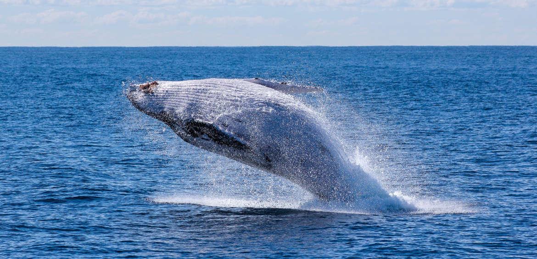Alaska: whale breaching