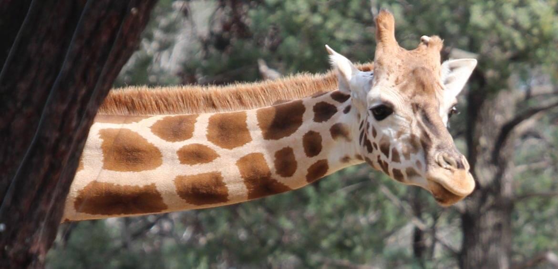 Asmara at Tarongao Western Plains Zoo