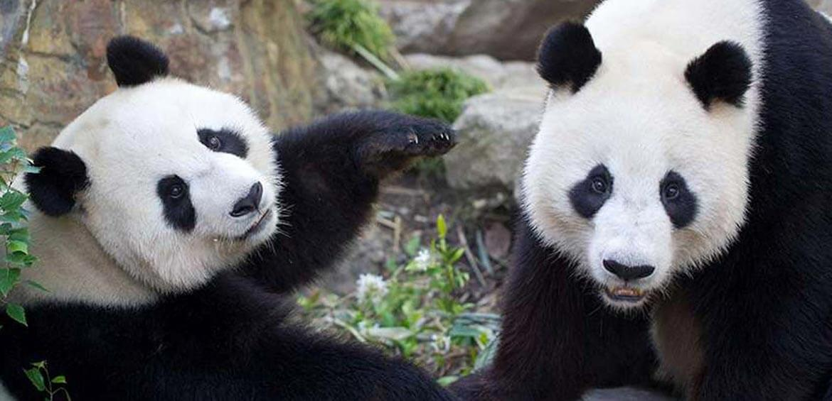 Wang Wang and Fu Ni at Adelaide Zoo