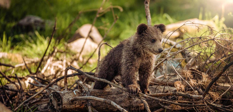 Alaska: bear cub