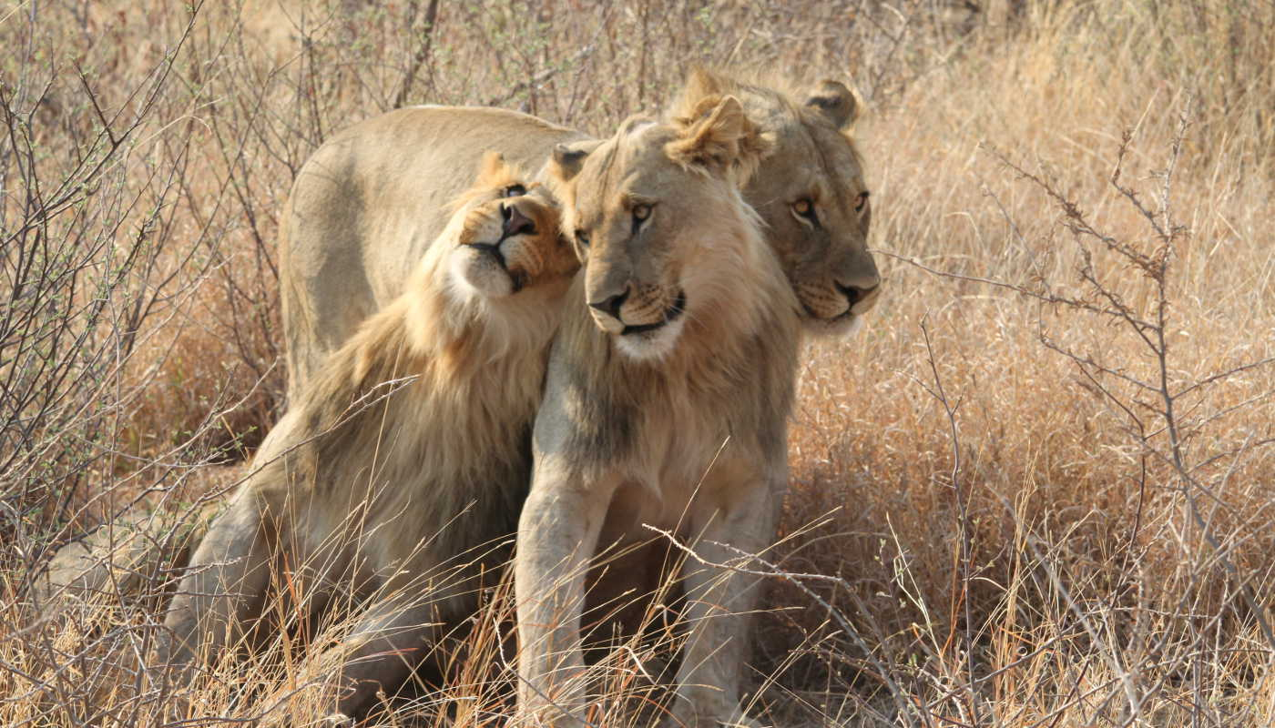 lionness and lion cub south africa reserve