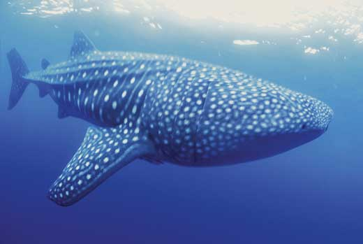 Philippines-Whale_shark