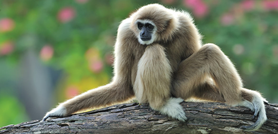 A cute and curious gibbon