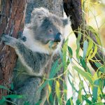 Koala in the Yanchep National Park Perth, Western Australia