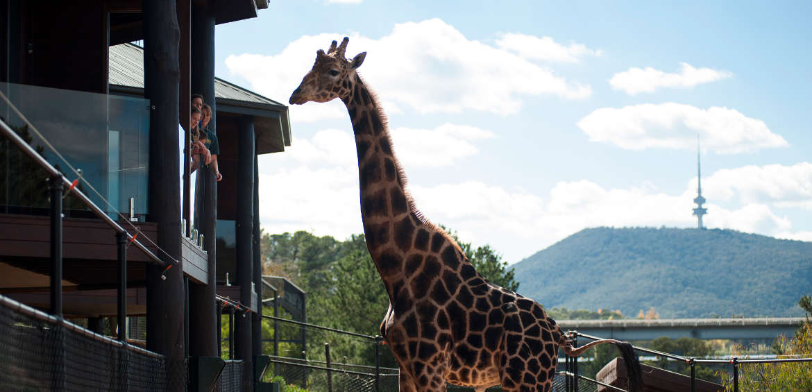 Jamala Wildlife Lodge giraffe