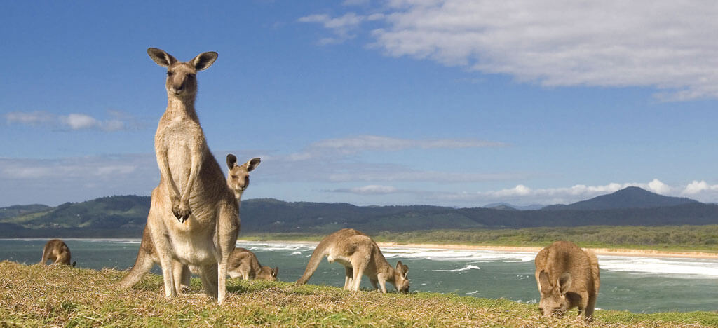 Kangaroo on Look At Me Now Headland