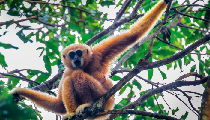 Gibbons in Brunei