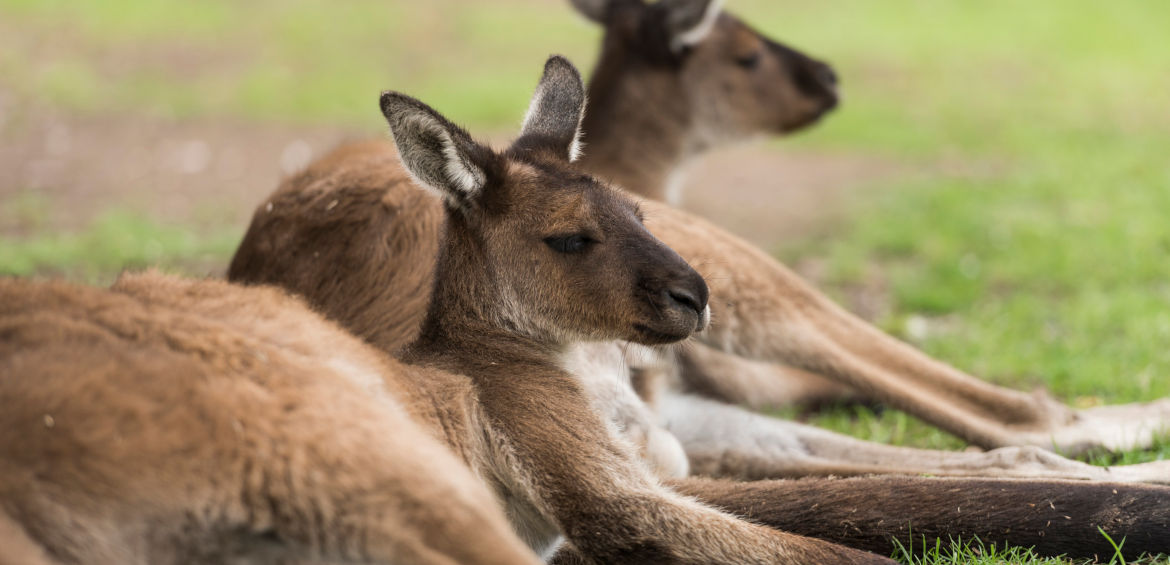 Close up of kangaroos at Ballarat Wildlife Park