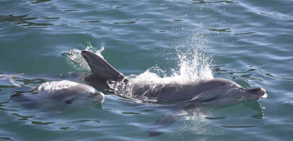 Dolphin Watching Cruises Jarvis Bay