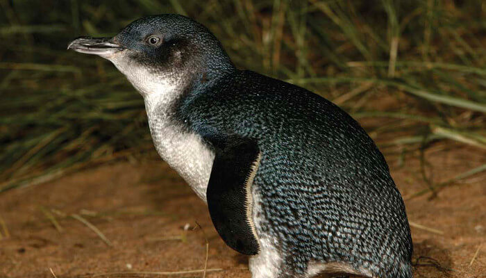 Phillip Island Penguins © Tourism Australia