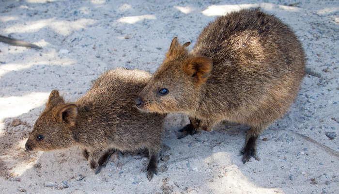 Quokkas at Rottnest Island