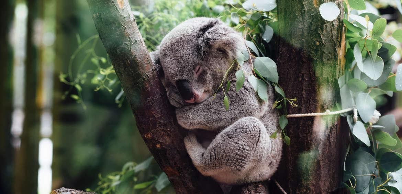 koala australia national park