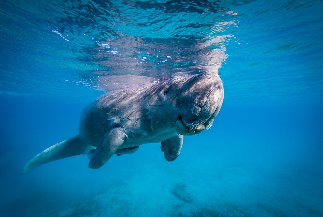 A friendly dugong