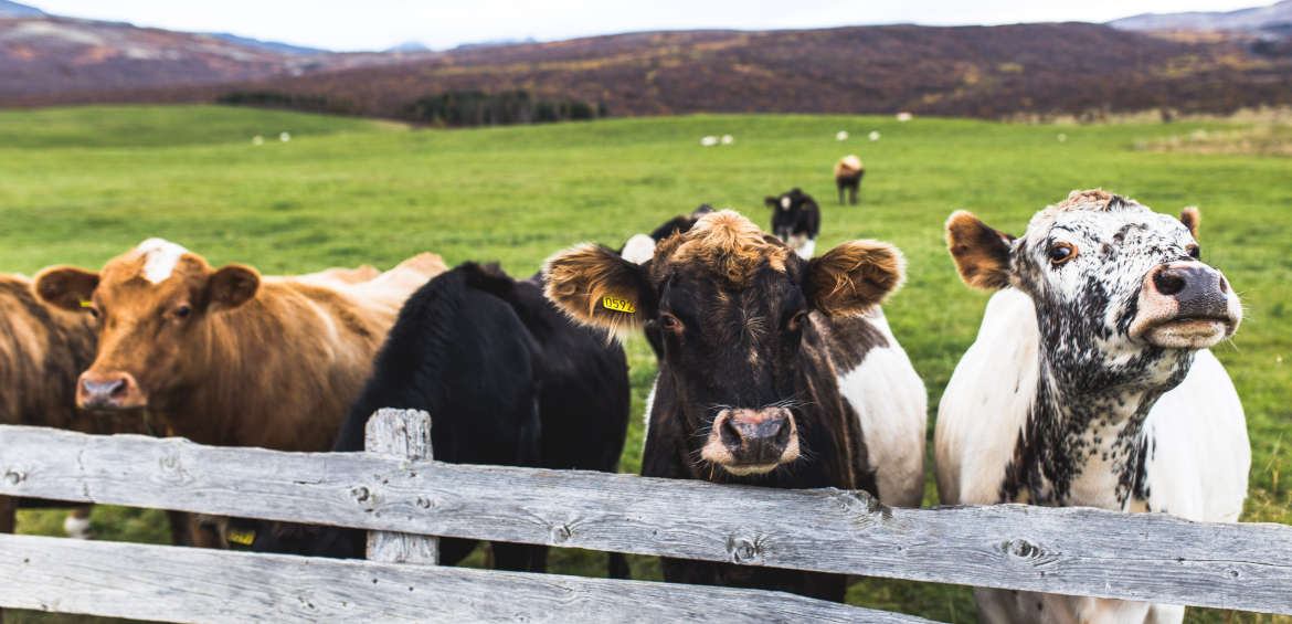 cows in paddock by the fence