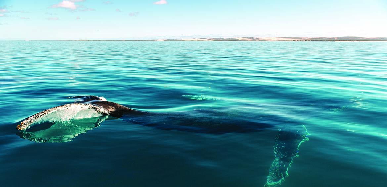 Humpback whale © Tourism Western Australia