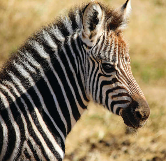 Mudhe at Werribee Open Range Zoo