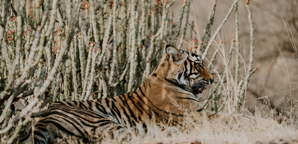 Bengal tiger at Ranthambore National Park, India