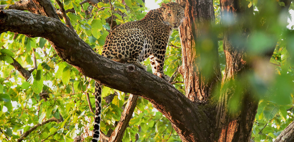 Leopard in Bandhavgarh National Park, Tala