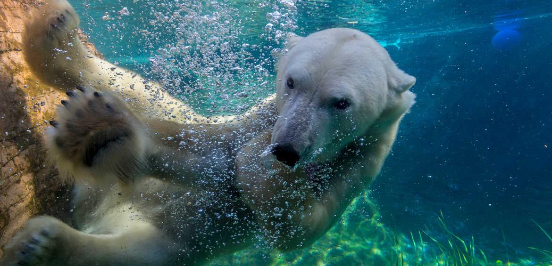 A polar bear at the San Diego Zoo © Ken Bohn