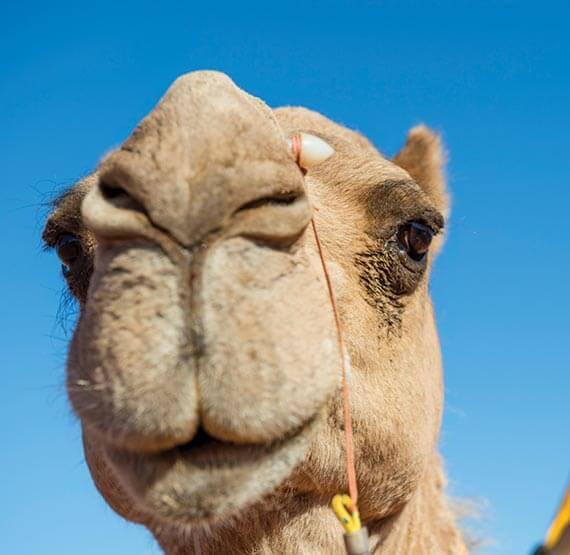 Camel at Uluru, Northern Territory