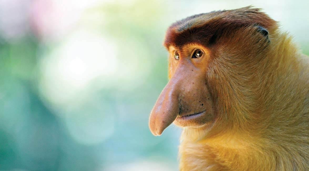A quirky proboscis monkey in Sabah
