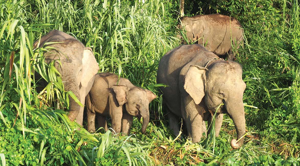 Pygmy elephants along the Kinabatangan River
