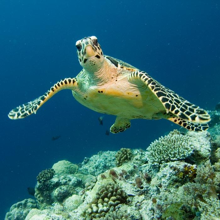 Hawksbill Sea Turtle in Fiji