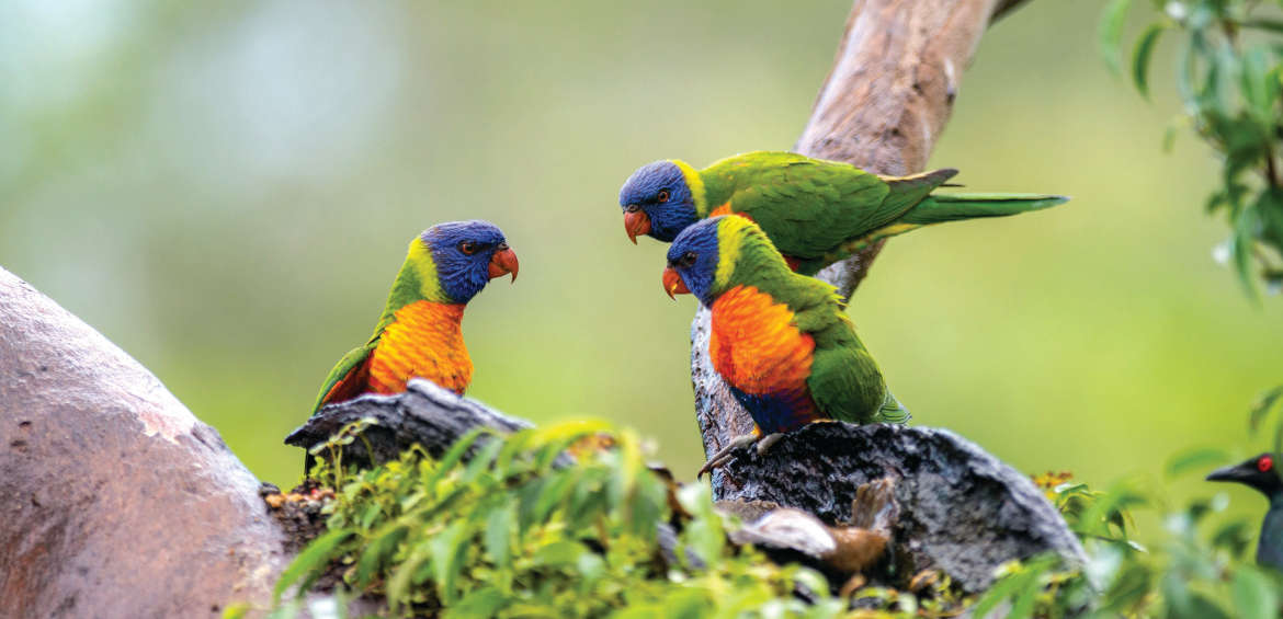 Lorikeets, Thala Beach Nature Reserve, Port Douglas
