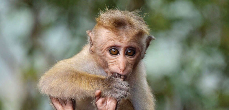 Sri Lanka, Monkey, India, Sigiriya Citadel Rock