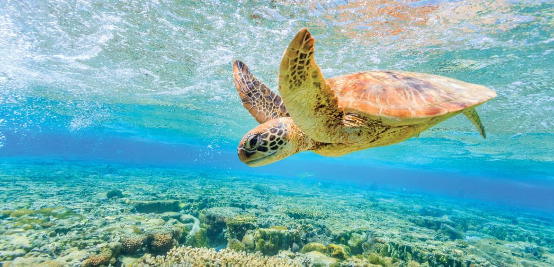 Turtles at Lady Elliot Island