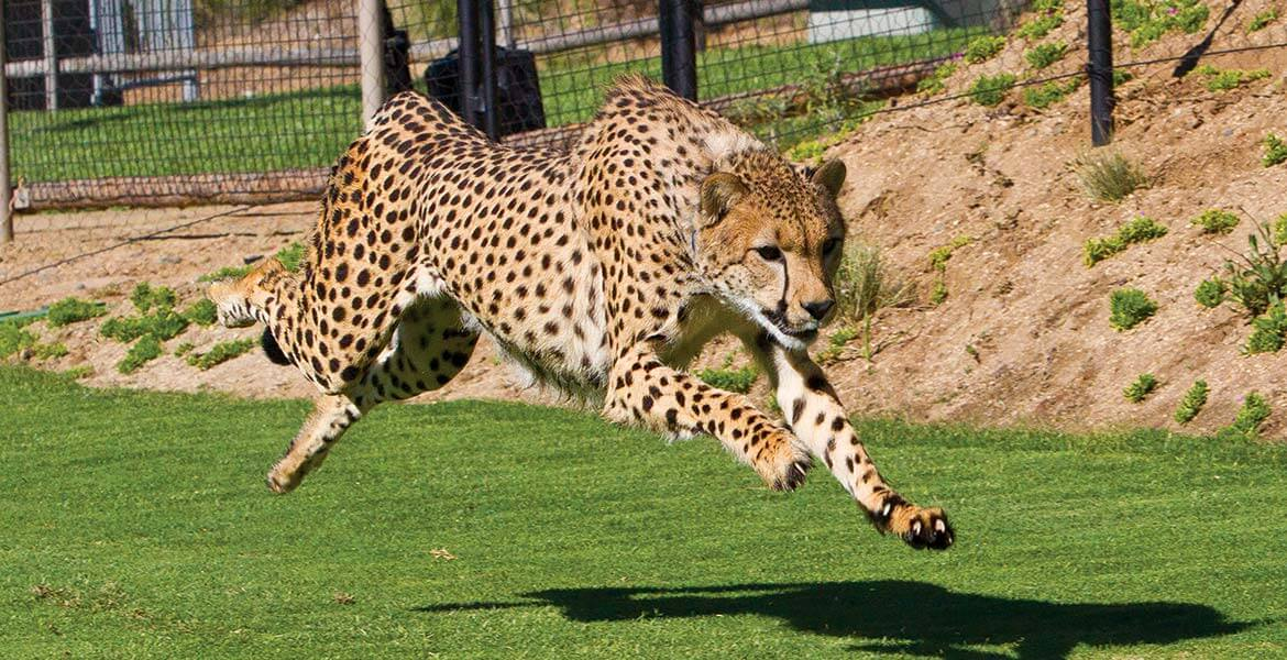 Cheetah running at San Diego Zoo Safari Park
