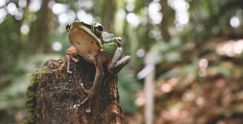 Frog in Borneo