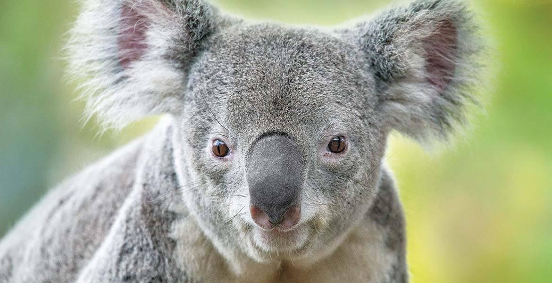 Koala at San Diego Zoo