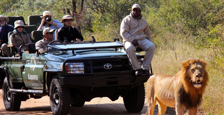 Lion spotting on safari in Africa