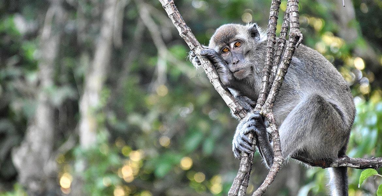 Monkey in Borneo