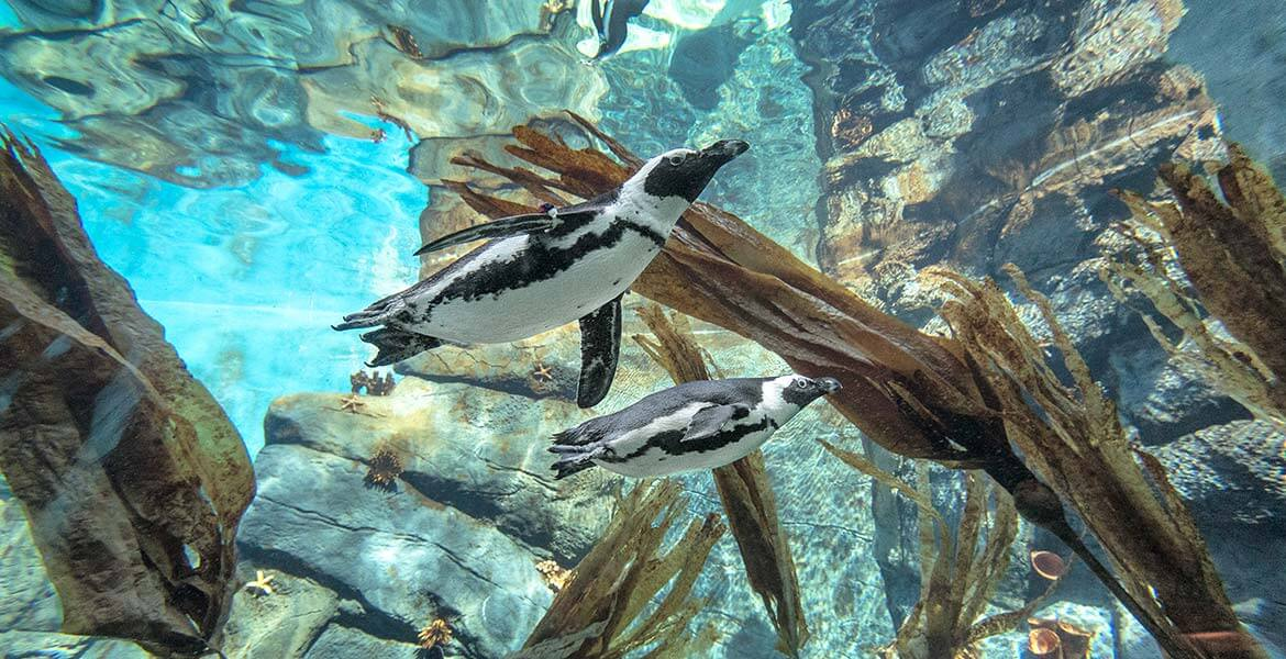 Penguins at San Diego Zoo