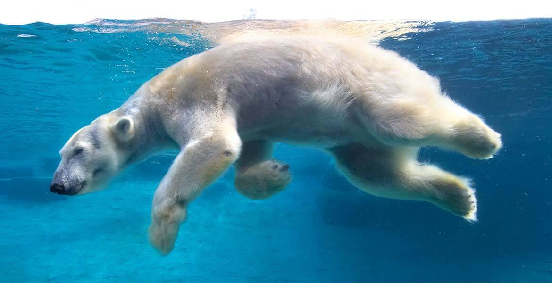 Polar Bear at San Diego Zoo