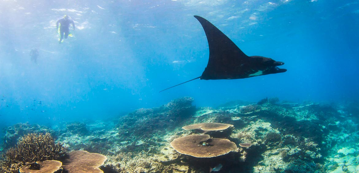 Mantas at Lady Elliot Island