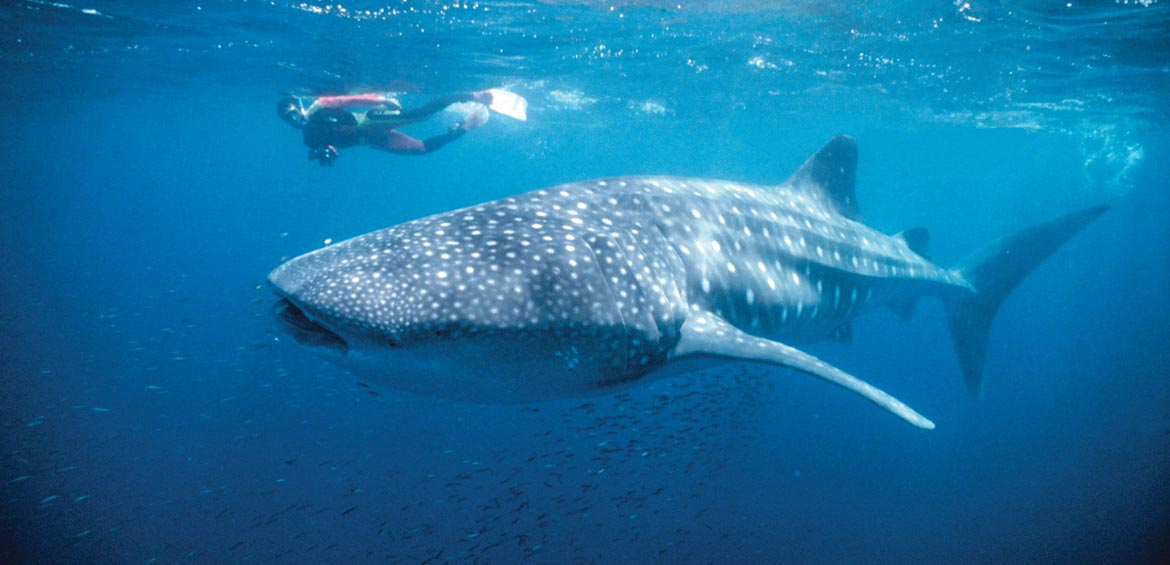 Whale Shark at Ningaloo