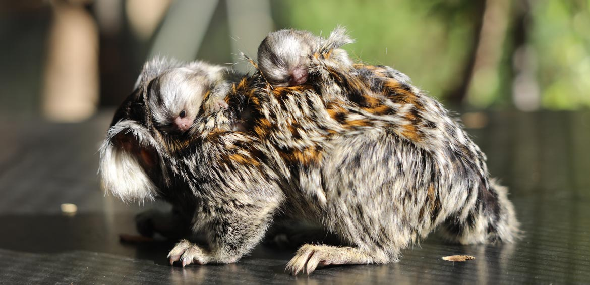 Marmoset twins at the National Zoo and Aquarium, Canberra