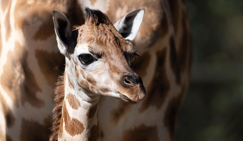 Noodle the giraffe at Australia Zoo