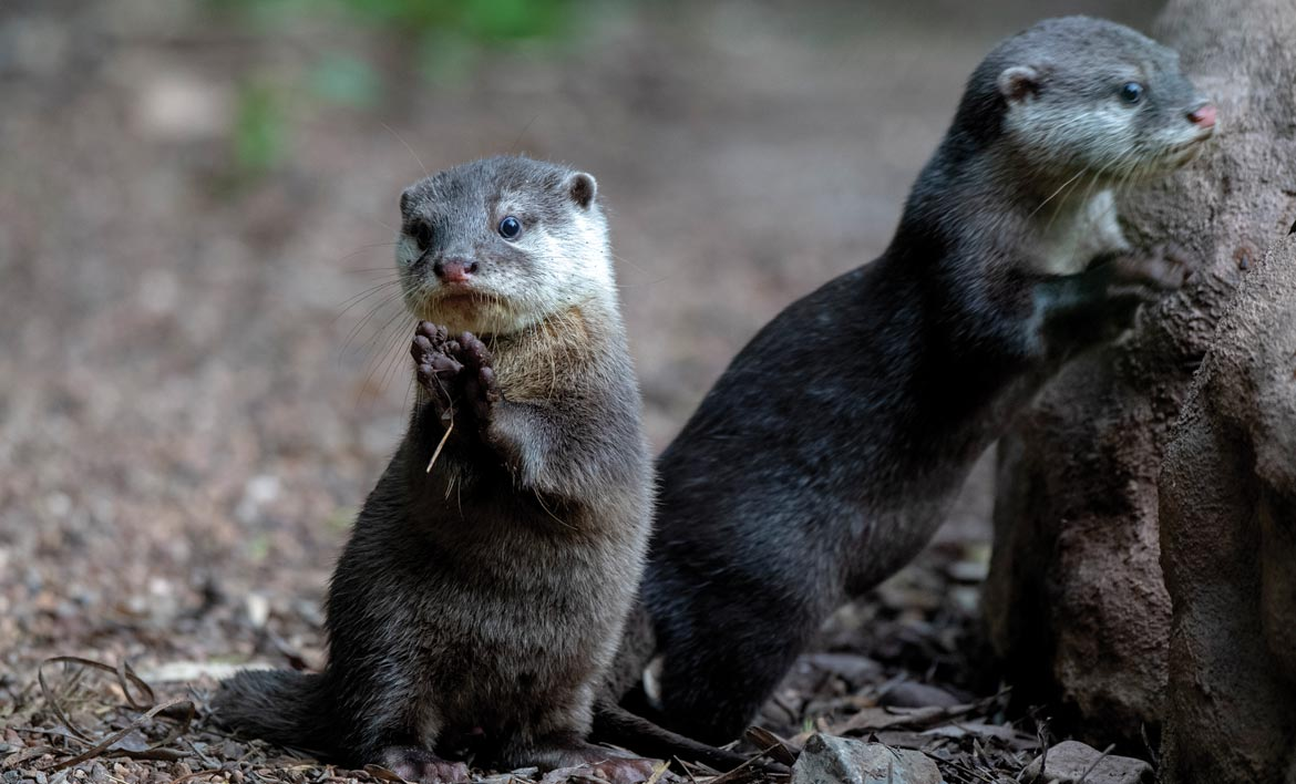 Baby otters at Adelaide Zoo