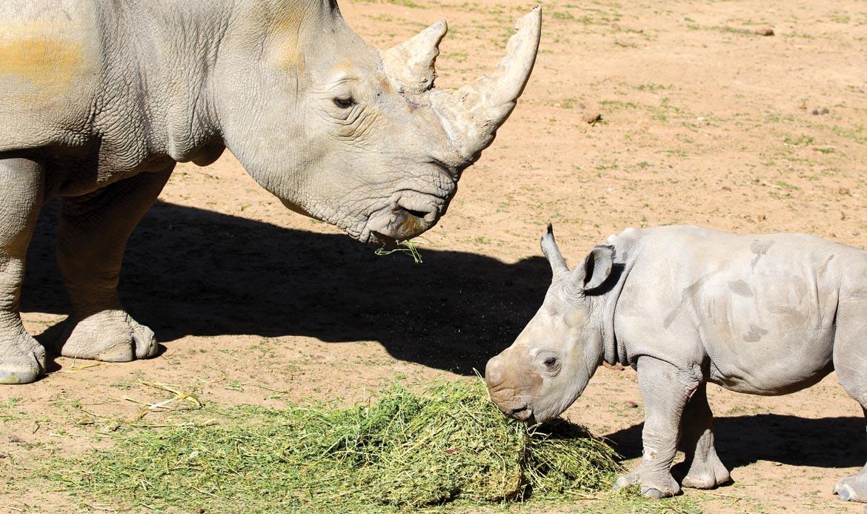 Meeka the white rhino calf at Taronga Western Plains Zoo