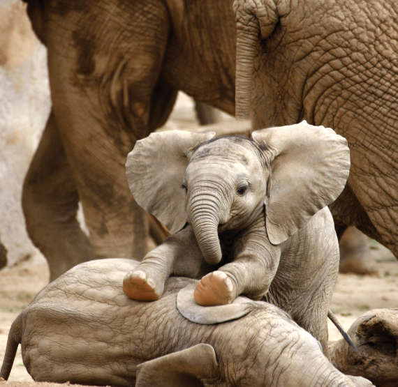 Baby elephants at play © Steve Bower/Shutterstock