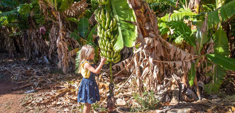 Bananas plantations in Carnarvon