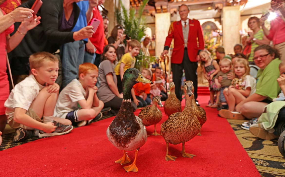 Duck March with Duckmaster Anthony Petrina