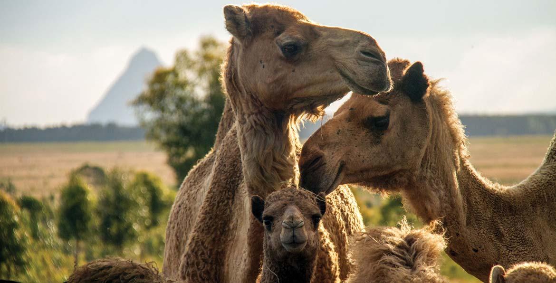 QCamel Camel Milk Dairy Office