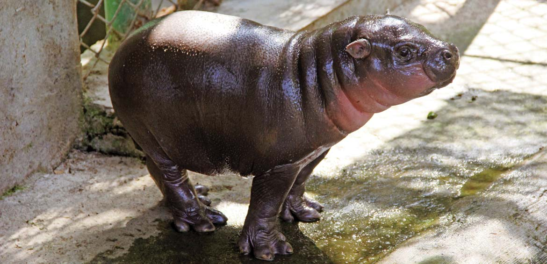 Baby pygmy hippo at Bali Safari & Marine Park