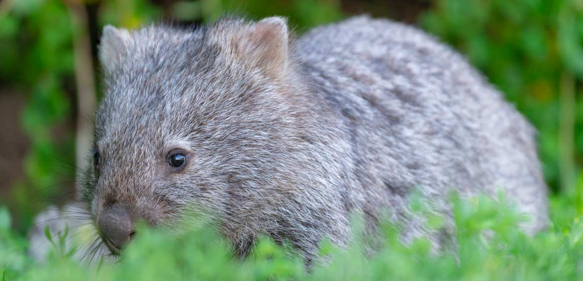 Wombat in Wilsons Promontory National Park